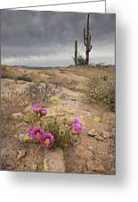 Hedge Hog Cactus Greeting Card by Lou Oates