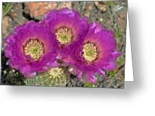 Hedgehog Cactus Triplets Greeting Card