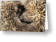 Hedgehog Curled Up Greeting Card
