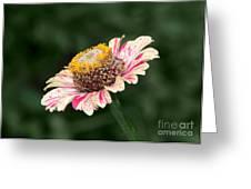 Helenium Greeting Card