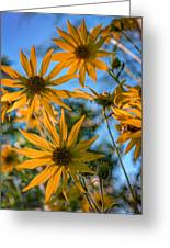 Helianthus Giganteus Greeting Card