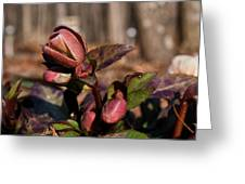 Heliborus Early Flower Buds 2 Greeting Card