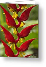 Heliconia Dielsiana Greeting Card