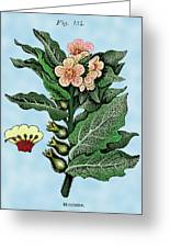 Henbane Greeting Card