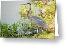 Henry The Great Blue Heron Greeting Card