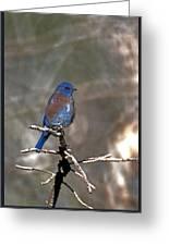 Henrys Western Bluebird Greeting Card