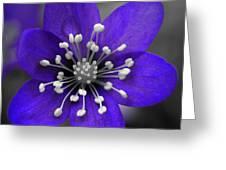 Hepatica 3 Greeting Card
