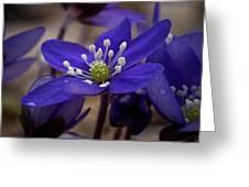 Hepatica 4  Greeting Card