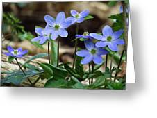 Hepatica Blue Greeting Card