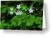 Herb Robert On The Ma At Greeting Card