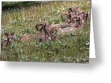 Herd Of Bighorn Sheep Greeting Card