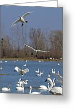 Here Come The Swans Greeting Card
