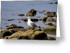 Herring Gull At Charmouth Greeting Card