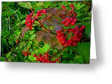 Hi Bush Cranberry Close Up Greeting Card