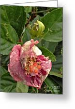 Hibiscus Bloom Closed In The Rain   End View      May           Indiana      Greeting Card