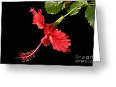 Hibiscus On Black Background Greeting Card