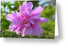 Hibiscus Syriacus Greeting Card
