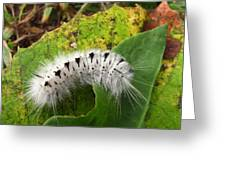 Hickory Tussock Greeting Card