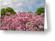 Highland Park Lilacs Detail Rochester Ny Greeting Card