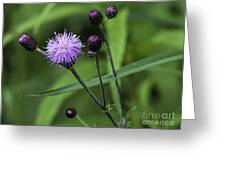 Hill's Thistle Flower And Buds Greeting Card