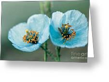 Himalayan Blue Poppy Greeting Card