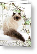 Himalayan Kitten Greeting Card