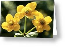 Himalayan Marsh Marigold Greeting Card