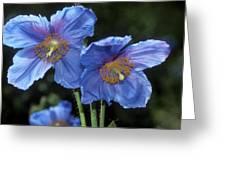 Himalayan Poppy (meconopsis Grandis) Greeting Card