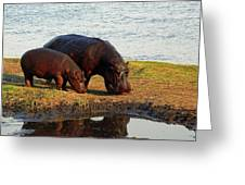 Hippo Mother And Child - Botswana Africa Greeting Card