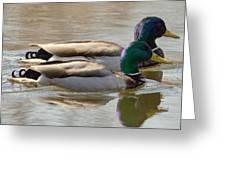 Two Mallards Swimming Quietly Greeting Card