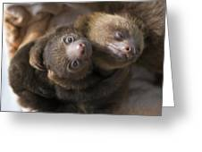 Hoffmanns Two-toed Sloth Orphans Hugging Greeting Card by Suzi Eszterhas