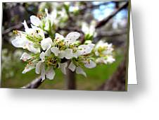Hog Plum Blossoms Greeting Card