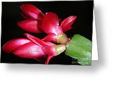 Holiday Cactus - A Close Up Greeting Card