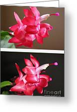 Holiday Cactus - Day And Night Greeting Card