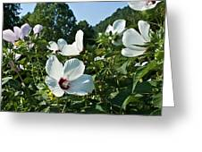 Hollyhock At Sunrise Greeting Card