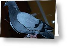 Homing Pigeon Greeting Card