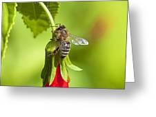 Honey Bee 11 Greeting Card