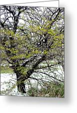 Honey Locust Tree On A Spring Snow Day Greeting Card