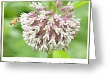 Honeybee And Milkweed Flowers Greeting Card
