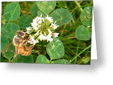 Honeybee Drinking From Clover Bloom   Summer  Indiana Greeting Card