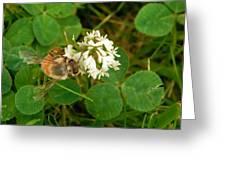 Honeybee On Clover Looking At Camera Greeting Card