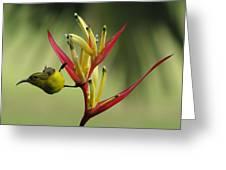 Honeyeater On Bird Of Paradise Greeting Card