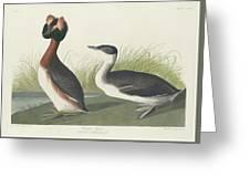Horned Grebe Greeting Card