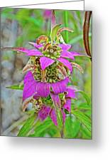 Horsemint On Trail To North Beach Park In Ottawa County, Michigan Greeting Card