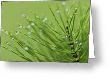 Horsetail With Dew Greeting Card