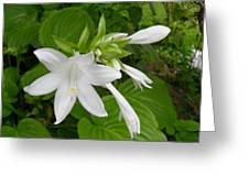 Hosta Bloom Greeting Card