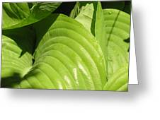 Hosta Curls Greeting Card
