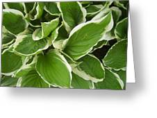 Hostas 1 Greeting Card