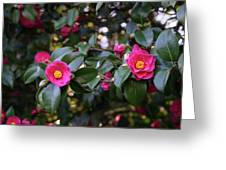 Hot Pink Camellias Glowing In The Shade Greeting Card