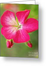 Hot Pink Geranium On A Brilliant Summer Day Greeting Card